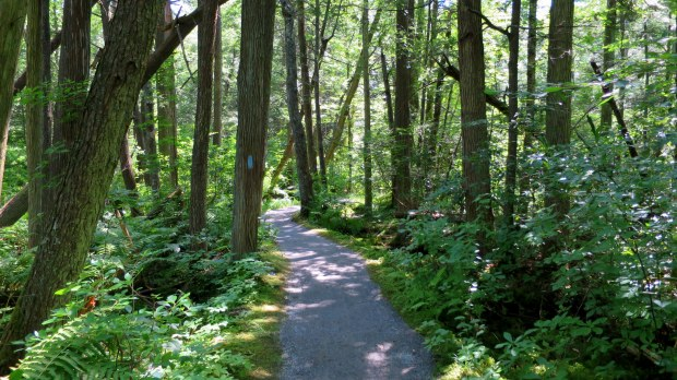 Rhododendron Sanctuary Trail, Pachaug State Forest, Connecticut