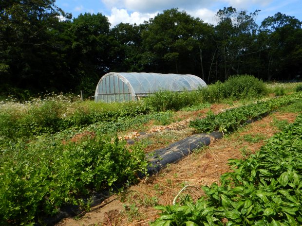 Basil, carrots, chard, and more, Stonyledge Farm, Clarks Falls, Connecticut