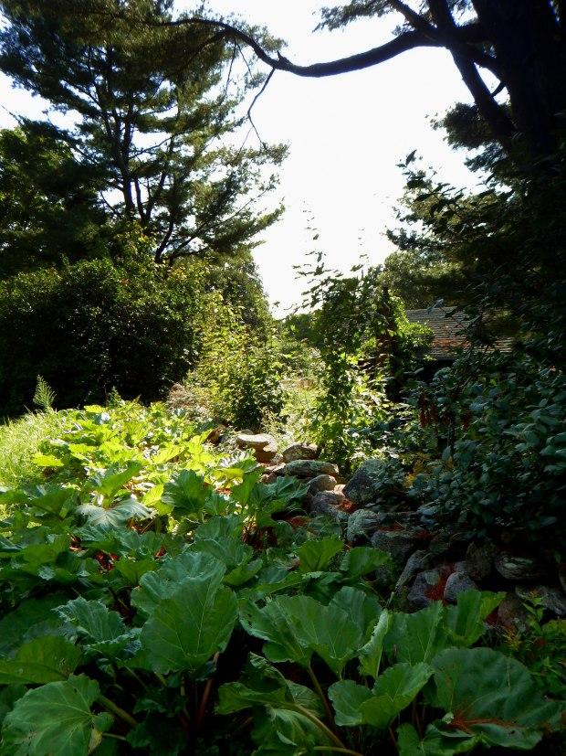 Rhubarb growing along a stone wall, Stonyledge Farm, Clarks Falls, Connecticut