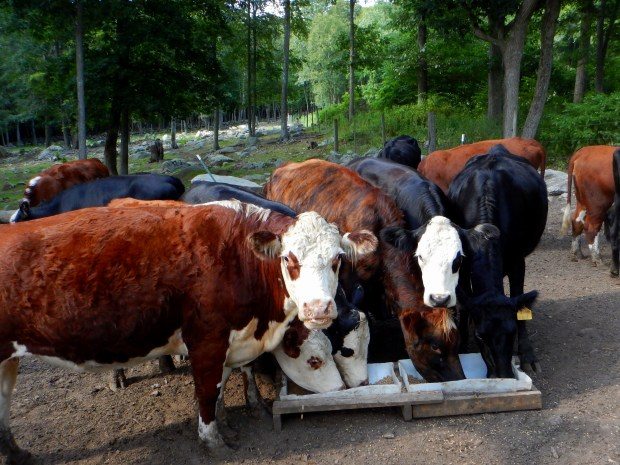 Herefords at feeding time, Stonyledge Farm, Clarks Falls, Connecticut