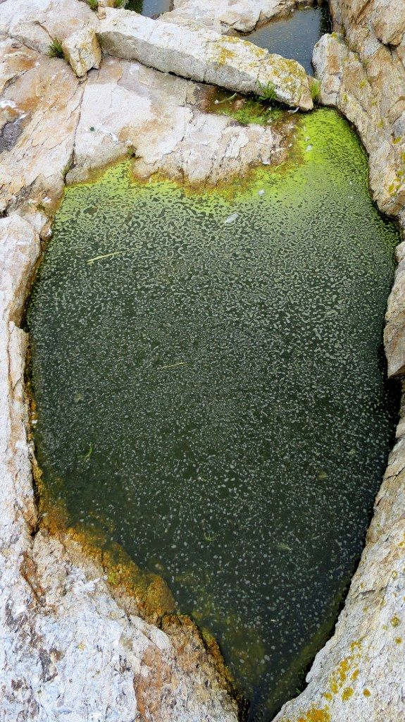 Tidal pool algae, Star Island, Isle of Shoals, New Hampshire