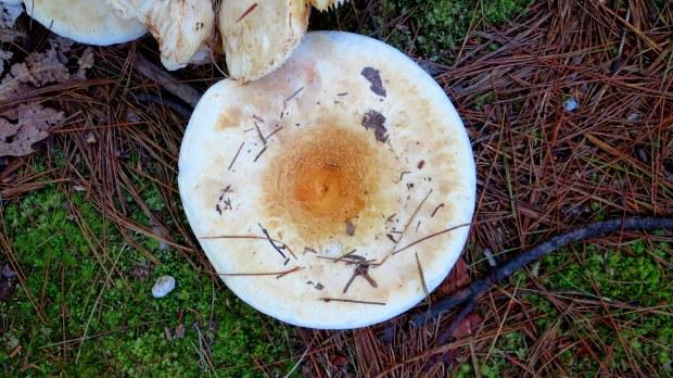 A very nice large mushroom, Boundary Trail, Bradbury Mountain State Park, Maine