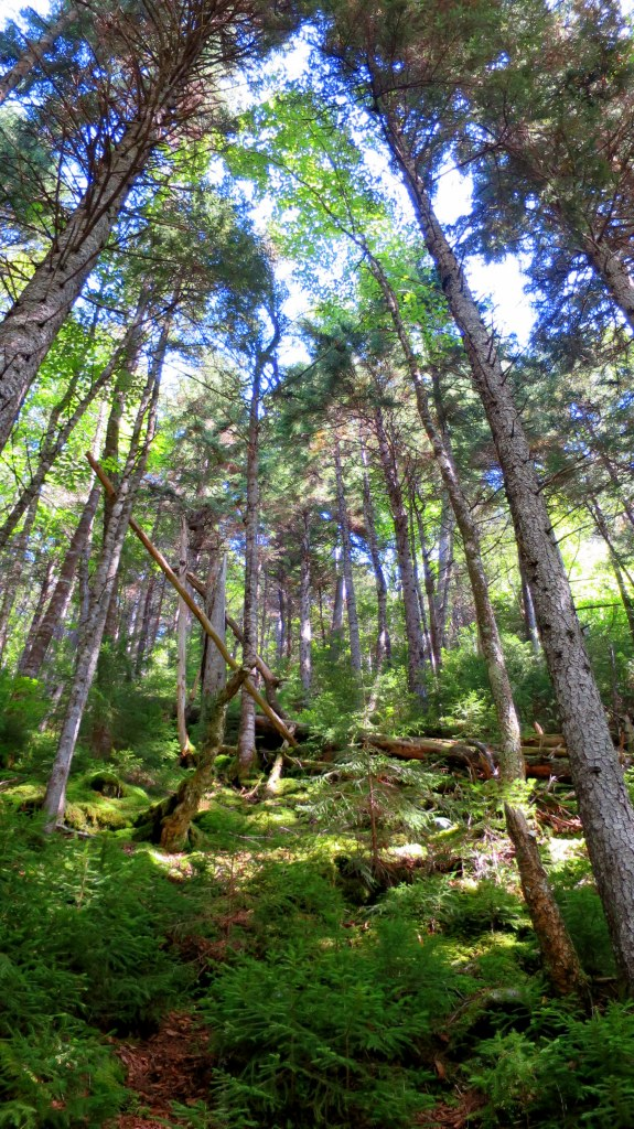 Forest along the Hearst Lodge Trail, Fundy Trail, New Brunswick, Canada