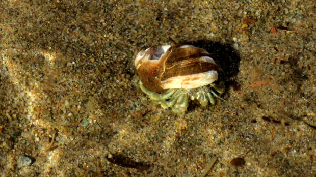 Hermit crab in the shallows, Murray Beach Provincial Park, New Brunswick, Canada