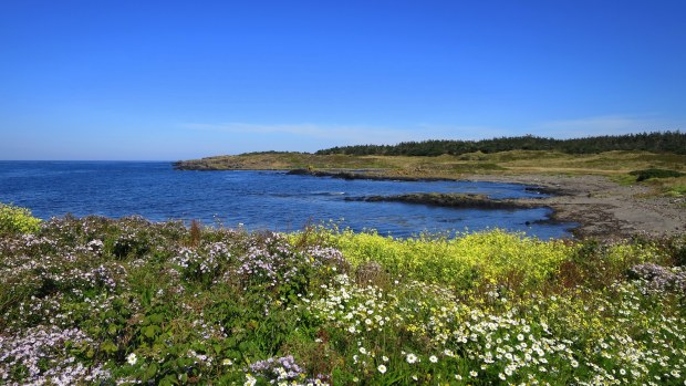 Wildflowers, Coastal Trail, Brier Island Nature Preserve, Nova Scotia, Canada