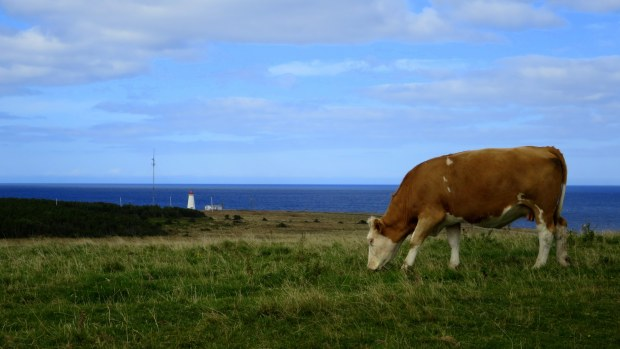 Grazing cow with Enragee Point Lightstation, Cheticamp Island, Nova Scotia, Canada