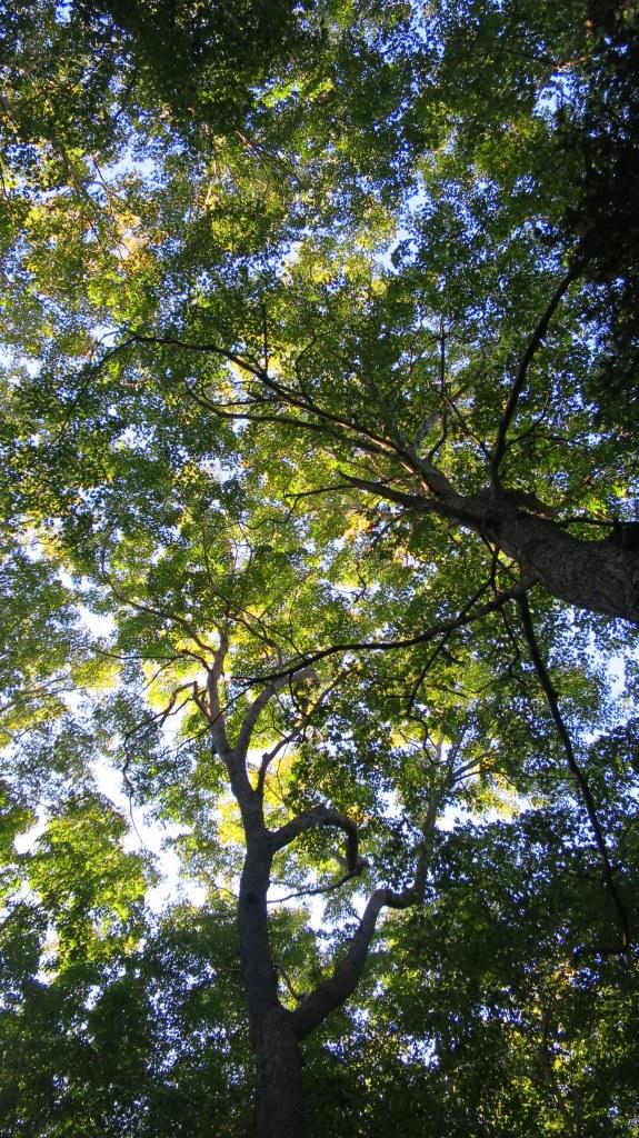 Towering sugar maples, Lone Shieling, Cape Breton Highlands National Park, Nova Scotia, Canada