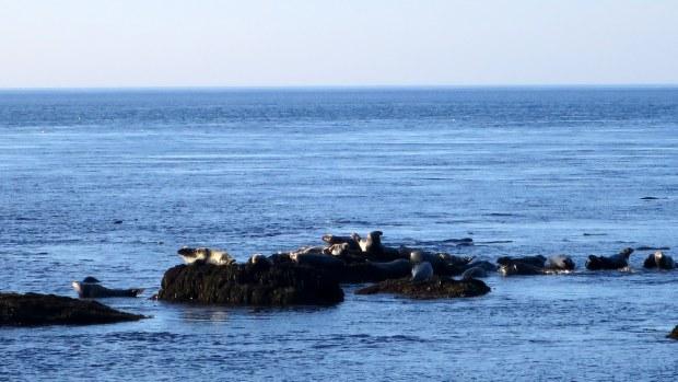 Another view of the seals, Coastal Trail, Brier Island, Nova Scotia, Canada