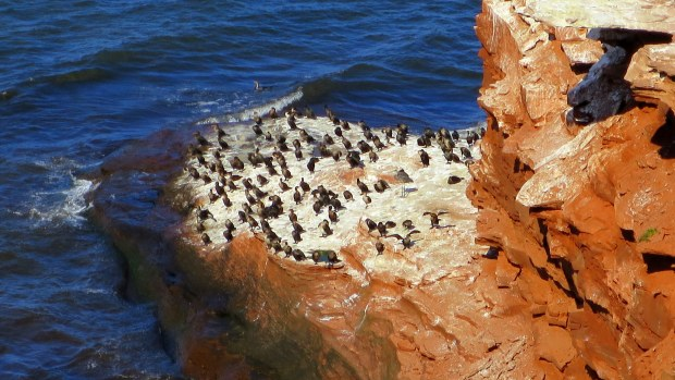 Complete failure of my part to identify these adorable little birds - sorry, sandstone cliffs, Brackley-Dalvay, Prince Edward Island National Park, Prince Edward Island, Canada