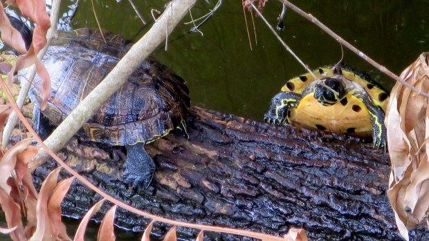 Yellow-Bellied Slider attempting to mount the log, George C. McGough Nature Park, Largo Narrows, Florida