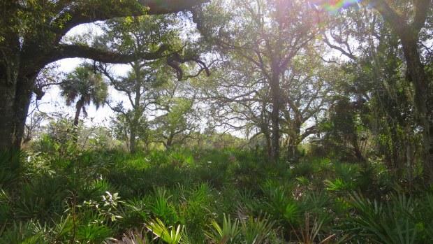 Hammock habitat from trail, Myakka River State Park, Florida