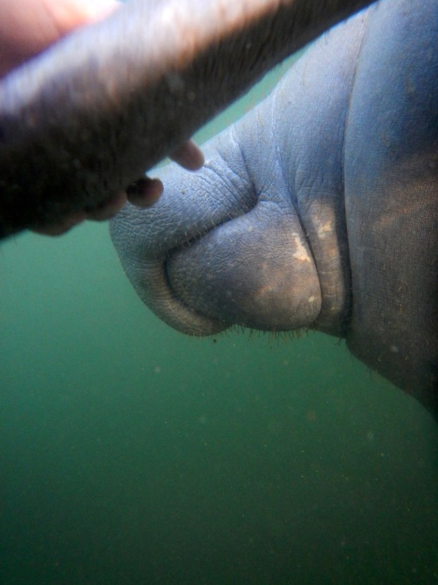 Same manatee putting his flipper in my hand, Crystal River National Wildlife Refuge, Florida