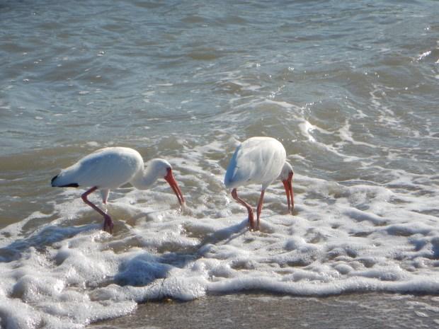 White ibis (I think), East Beach, Fort De Soto Park, Florida