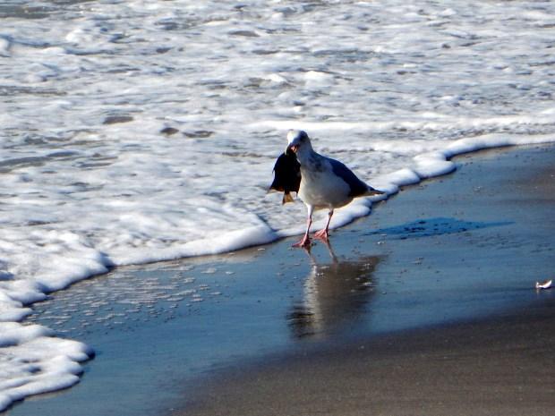 Seagull with sunfish, Caspersen Beach, Florida