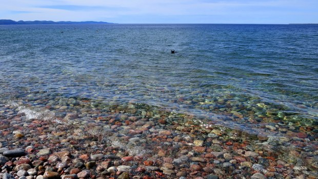 Abbs swimming with geese, Coastal Trail, Lake Superior Provincial Park, Ontario, Canada