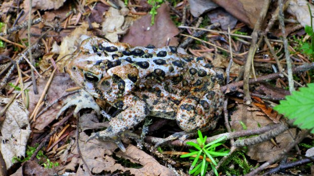 Toad, Coastal Trail, Pukaskwa National Park, Ontario, Canada