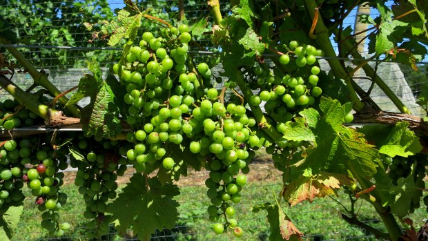 Le grapes, Long Island