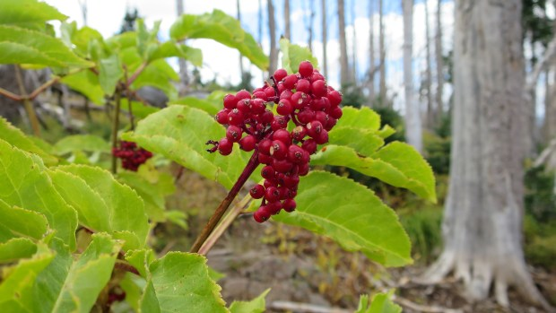 Beautiful berries that I forgot the name of, Blowhard Trail, Dixie National Forest, Utah