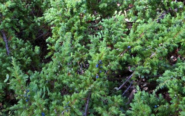 Juniper bushes with berries, Navajo Lake Loop Trail, Dixie National Forest, Utah