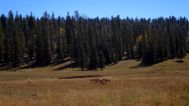 Deer in meadows on the way to Strawberry Point, Dixie National Forest, Utah