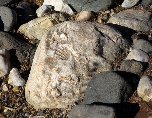 More fossilized shells, Black Rock, Arizona