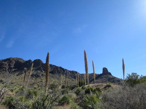 Yucca, Soledad Canyon Recreation Area, New Mexico