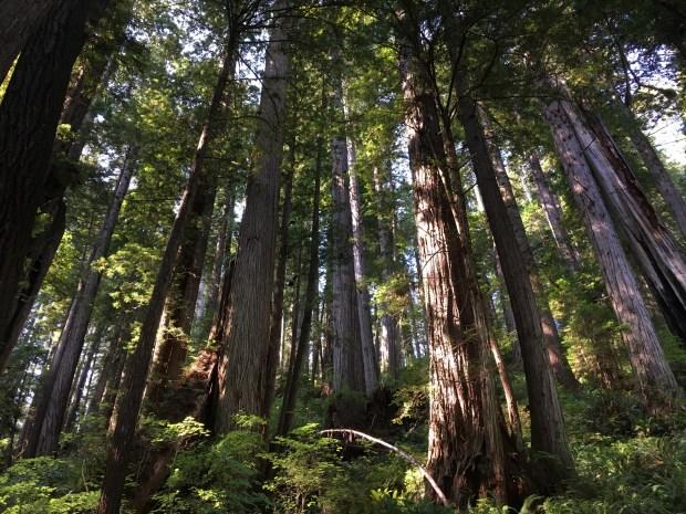 2016-09-08-oregon_redwoods_iphone-324