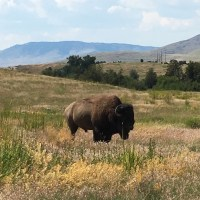 A Bison Range, Mission Church Murals, and 4 Pounds of Strawberries