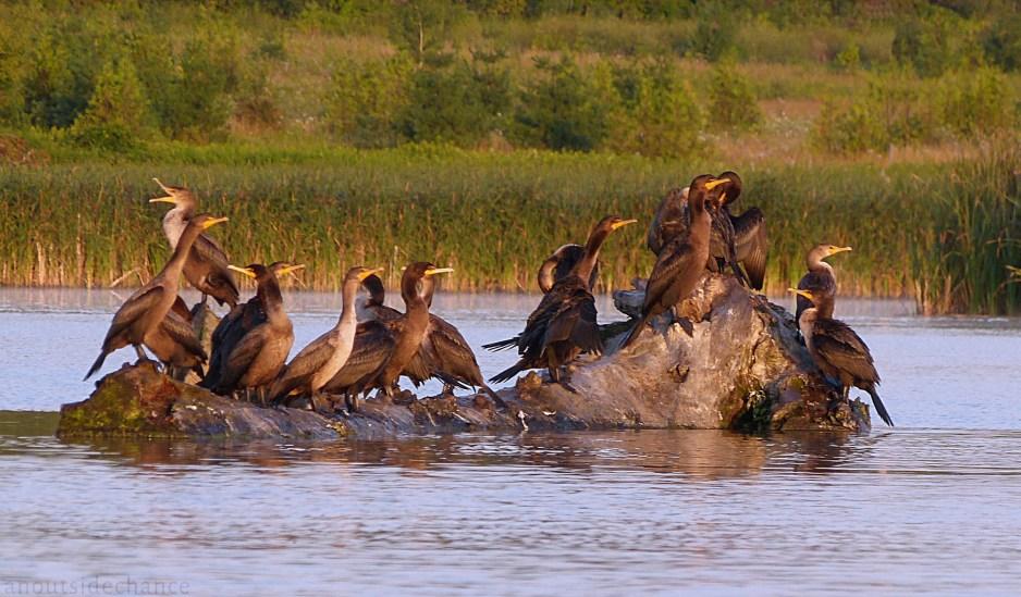 Cormorants, Bowmanville Marsh