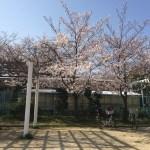 藤井寺駅近くのぶくんだ公園の桜がきれいでした