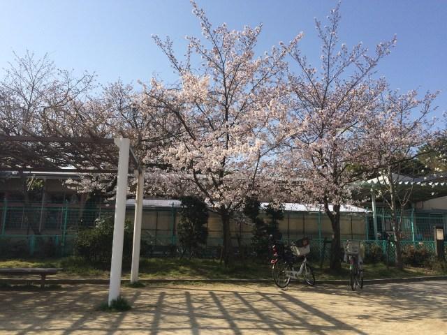 ぶくんだ公園の桜