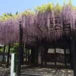 藤井寺の藤祭(2015年)