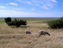 ...e due pecore