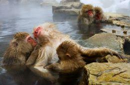 Macacos japoneses, 2010 - Oksana Perkins/ICPA