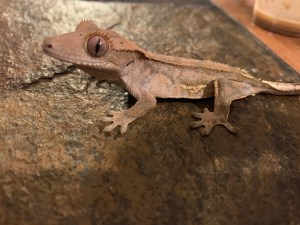 Crested Gecko, Six, a patient of AnShen Holistic Veterinary Care