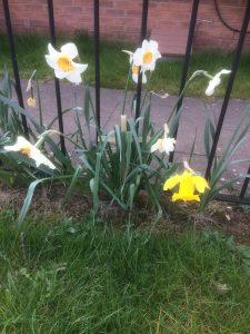 Palm Cross amongst 5 daffodils beside a footpath