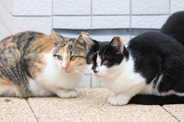 海外の猫とは一味違う!種類が豊富な日本の猫について解説!