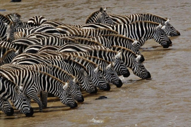 Herd of Burchell's Zebra driking, Mara River, Masai Mara, Kenya - national parks in africa