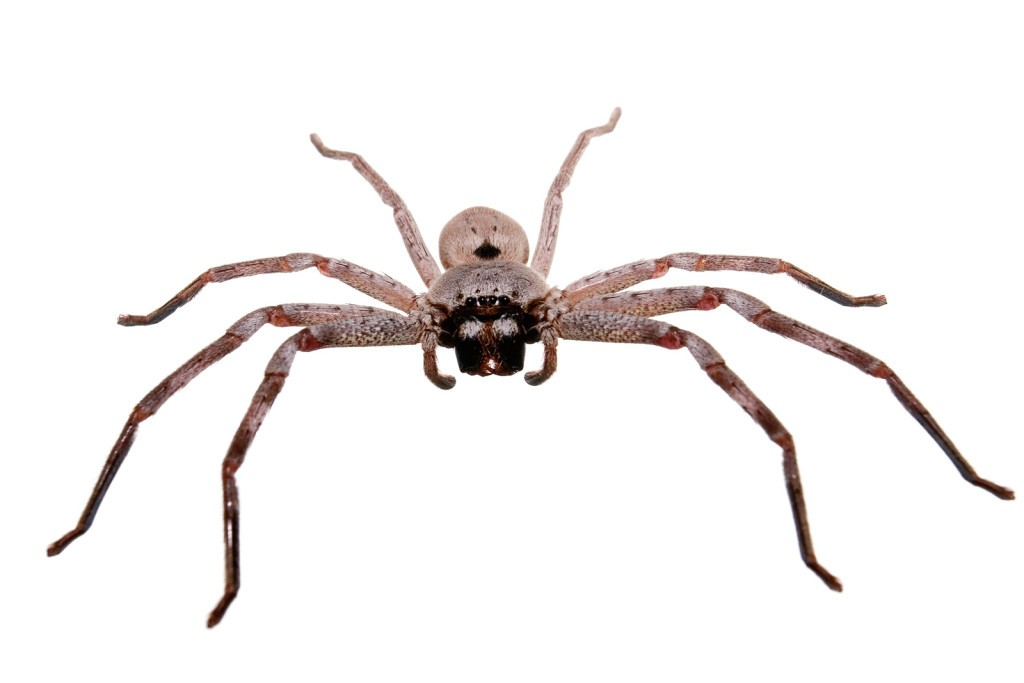 Giant Australia Huntsman 2015 Spiders
