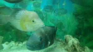 İri Ciklet Balıkları - Akvaryum Seyret