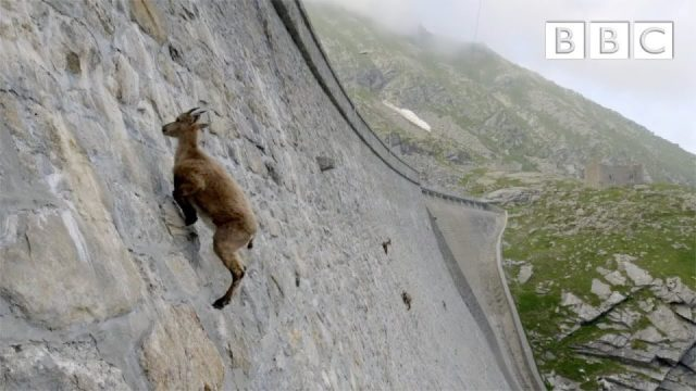 Baraj Duvarında Gezen Keçiler Yürek Hoplatıyor