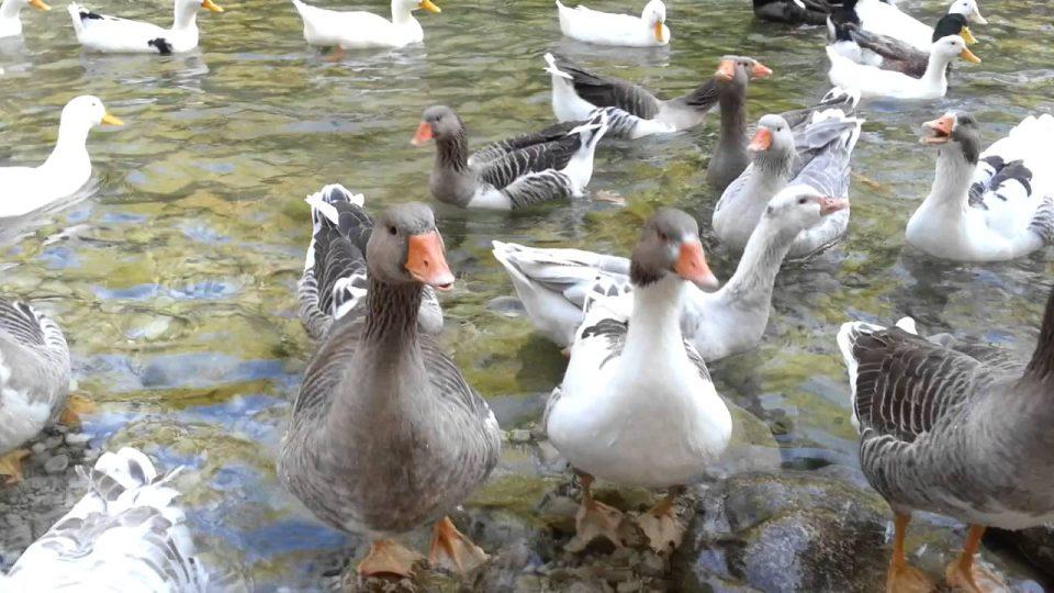 Yarıkpınar deresinde kazlar ve ördekler – muhteşem doğa – Holiday in Kemer Antalya