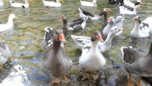 Yarıkpınar deresinde kazlar ve ördekler - muhteşem doğa - Holiday in Kemer Antalya