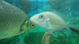 Ciklet Balıkları Akvaryumu İzle