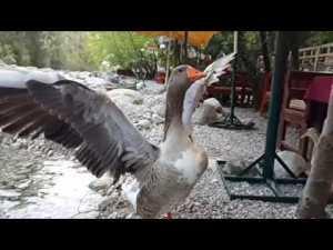 Kaz kanat çırpma ağır çekim Yarıkpınar Meydan Restaurant Kemer Slow Motion Video