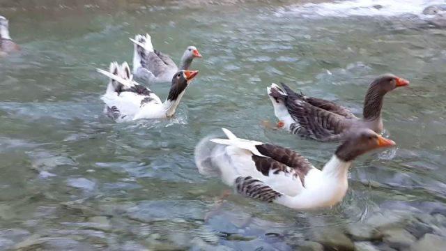 Kemer Doğal Güzellikler Yarıkpınar Deresinde Ördeklerin Oynayışı Tekirova Tatil Gezi
