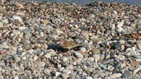 Konyaaltı Plajında Yiyecek Arayan Serçe - Antalya Gezi Tatil