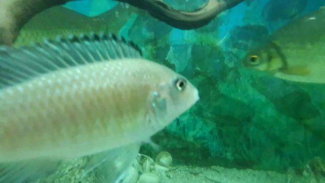 Cichlid Fish Aquarium - Fish tank video