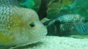 Cichlid Fishes - Akvaryum Seyret Ciklet Balıkları Akvaryumu Video