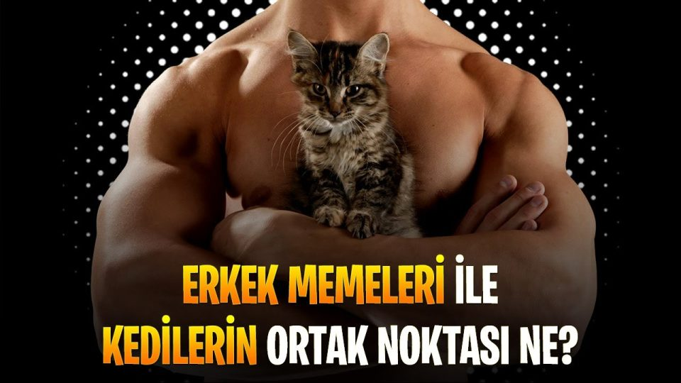 Erkek Memeleri, Kaliko Kedileri ve Kadınların Ortak Noktası